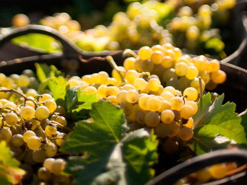 Cómo y cuándo recolectar la uva