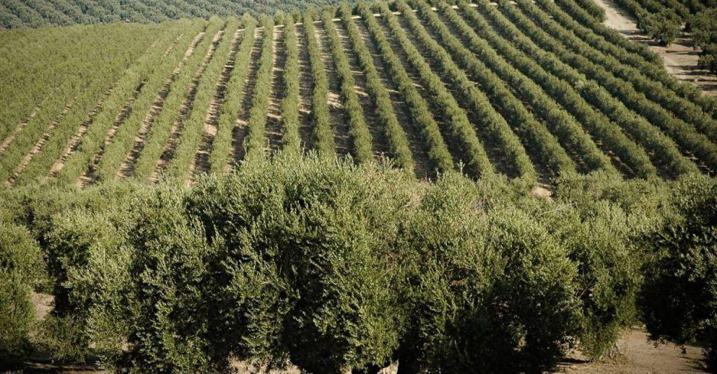 Abonos orgánicos para olivos